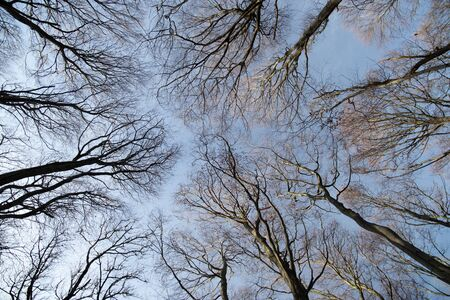 Bottom view of Beech trees in winter without leaves.