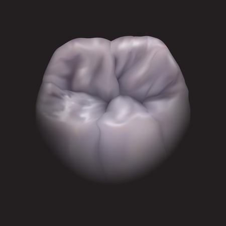 zircon: the lower molar tooth for dental design Illustration