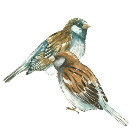 Two sparrow .Watercolor vector  illustration on white background