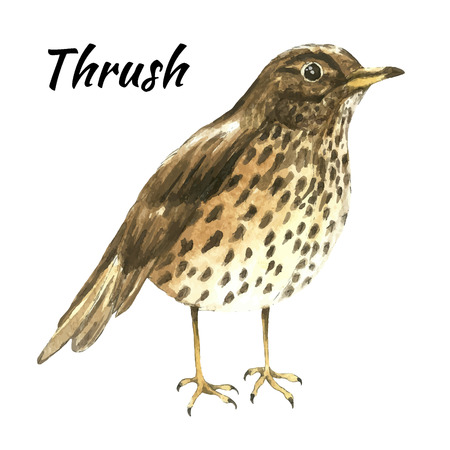 paiting: The thrush stand on white background .Watercolor vector illustration