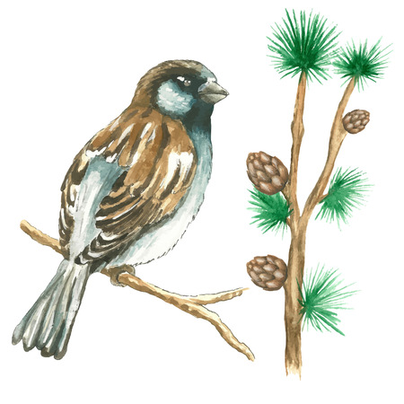 ine: The sparrow with pine branches .Watercolor vector illustration on white background Illustration