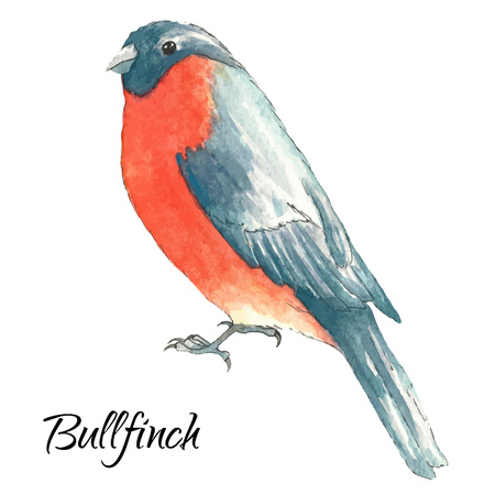 paiting: The bullfinch sits on the tree branch.Watercolor vector illustration on white background Illustration