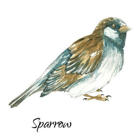 paiting: The sparrow .Watercolor vector illustration on white background
