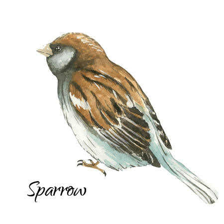 The sparrow .Watercolor vector illustration on white background