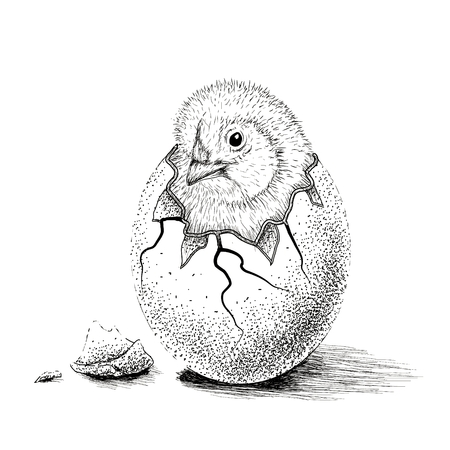 nestling birds: chick hatched from eggs. Animal life.Hand drawn work.Vector illustration Illustration