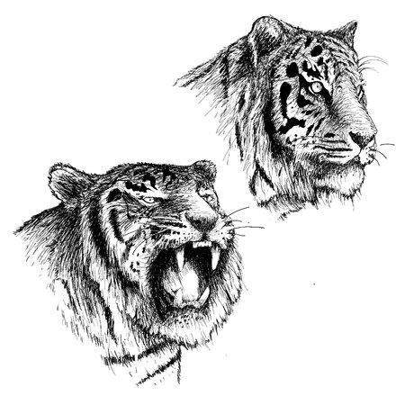 Hoofd van boze en rustige tijger. Hand getrokken schets vectorillustratie. Kan worden gebruikt voor circusaffiches Stockfoto - 79754353