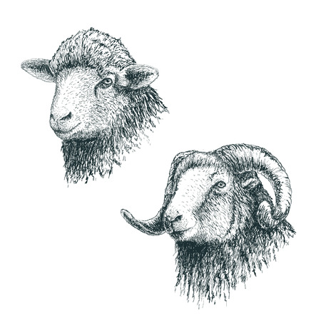 herding: Horned ram and lamb.Set of sheeps.Hand drawn egraving style.Vector illustration Illustration