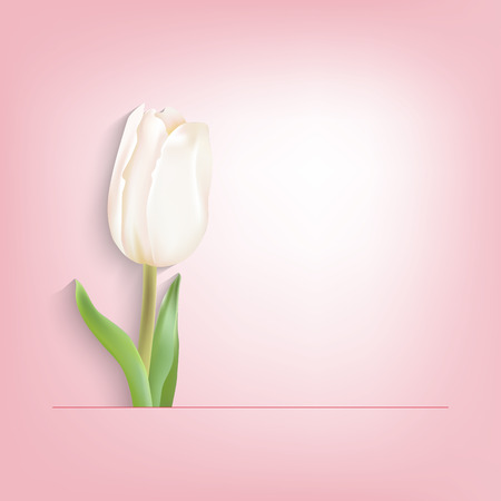 white tulip: Spring postcard white tulip on a pink background