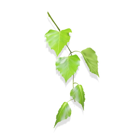 Birch branch with leaves. Real leaves. Vector illustration. Green leaves on a white background with shadow. Spring volume leaves.