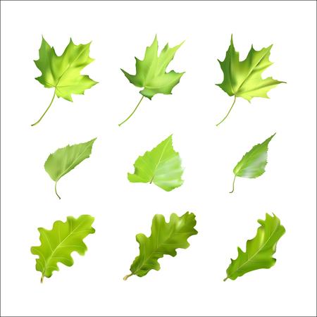Real leaves. Vector illustration. Green leaves on a white background. Spring volume leaves. Live oak, birch, maple leaves. Illustration