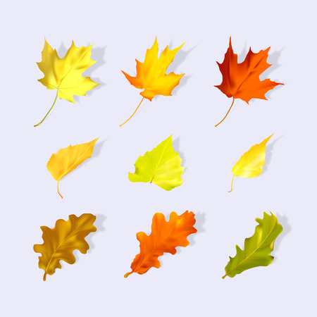 Real leaves. Vector illustration.Yellow, red leaves on a light background. Autumn volume leaves. Live oak, birch, maple leaves. Illustration