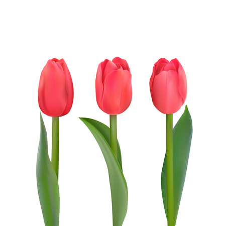 Three red Tulips various shapes on a white background. Vector Photo realistic delicate flowers for any festive decoration.