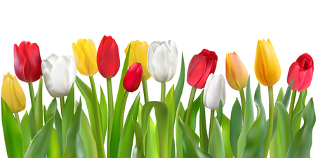 Many beautiful colorful Tulips with leaves isolated on a white background. Photo-realistic mesh vector illustration for any festive design, horizontal pattern with live spring flowers.