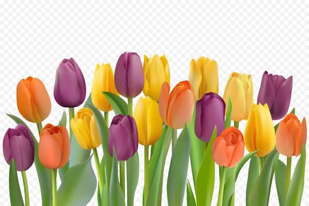 Many beautiful colorful isolated Tulips with leaves on a transparent background. Photo-realistic mesh vector illustration for any festive design, horizontal pattern with live spring flowers.
