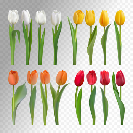 Set of white, yellow, orange and red tulips isolated on a transparent background. Photo realistic vector spring flowers for any festive decoration, design, banner, poster, invitation, brochure.