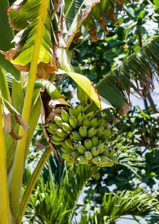 Banana branch with young bananas on the tree. Background of tree branches with green leaves