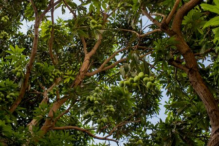 Mango tree with unripe fruits on the branches. Bottom-up view of a tree