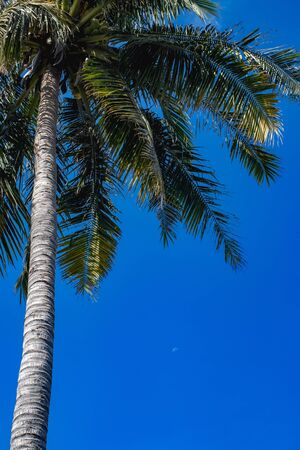 Tall palm tree with fruits of coconut, lush branches. In the background a young moon in a dream sky