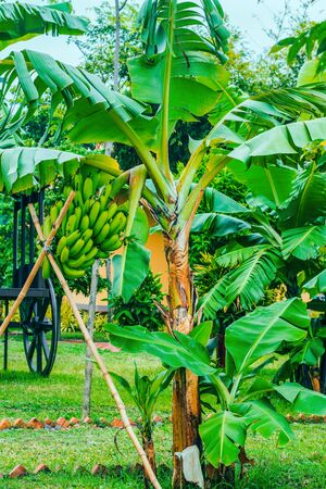 Banana tree with a bunch of bananas of green, which is held on bamboo sticks
