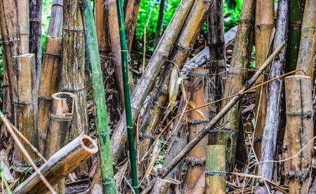 Whole and sawn trunks of old and dried bamboo trees stand upright in the forest
