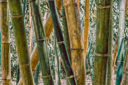 Trunks of growing and old bamboo trees standing upright. Bamboo forest in the background
