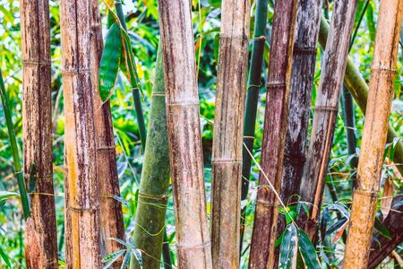 Trunks of old and dried bamboo trees are standing upright. Bamboo forest in the background 写真素材