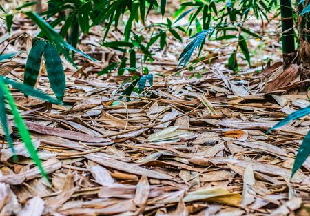 There are many dry fallen leaves and branches of a bamboo tree on the ground. Green leaves in the background