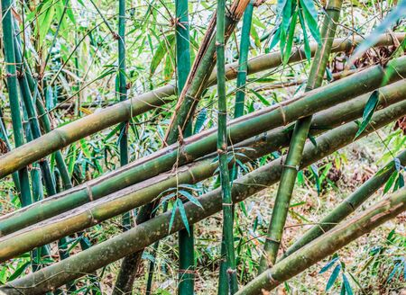 Trunks of young and old bamboo trees arranged vertically and diagonally. Rainforest in the background 写真素材