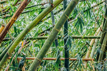 Green bamboo tree trunks and leaves in a rainforest