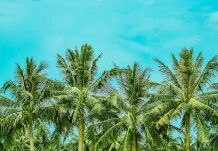 Four lush palm trees with coconuts and a blue sky on the background