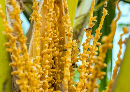 An enlarged view of flowering branches with flowers on a coconut palm tree with bees collecting pollen on them. Focus on the center, on the sides defocus