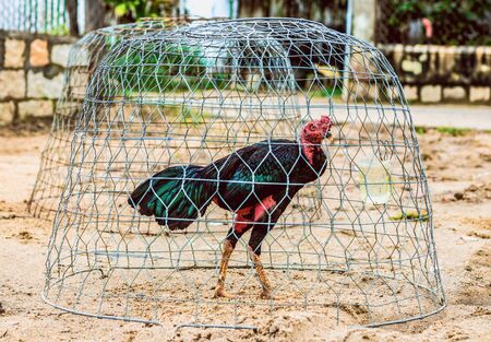 A tall black fighting rooster stands on the sand in a round metal mesh. In the background is an empty rooster net Banco de Imagens