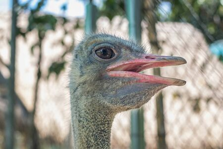 Ostrich head on the right side of the face in profile with an open beak