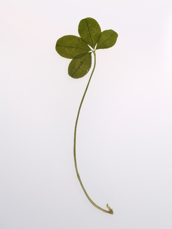 Full four petals of the clover, located on a white background sheet of paper. The symbol of a trefoil luck to the Patricks Day.