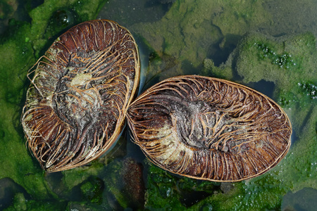 The old coconut, broken into two halves, which are perpendicular to each other lie in a green puddle, summer.