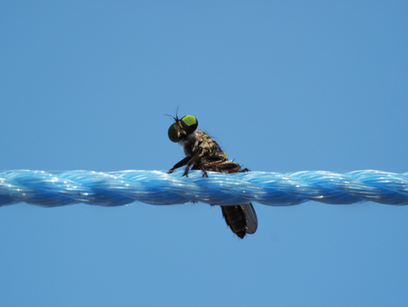 Tropical insect fly with spherical green eyes, well visible mesh of the surface of the eye, sits on a blue twisted rope against a blue sky background. Stock Photo