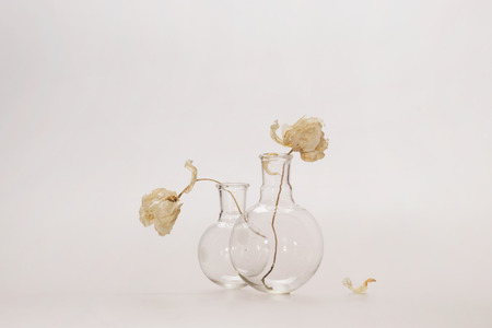bowing head: Two white flowers on long stalks in glass transparent flasks, the heads of flowers are turned away from each other, next to it lies a petal, white background, there is a place for text at the top.