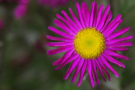 Bright flower with a saturated pink thin petals and a yellow middle on a green background, left blank space for text. Stock Photo