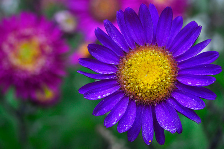 A bright purple flower with leaves on which there is little pollen, and a yellow middle with a figured stamen, in the background are other flowers of the garden.