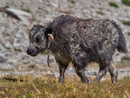 Small calf is a highland Tibetan yak, 2-3 months old, the summer pastures of the Himalayas.