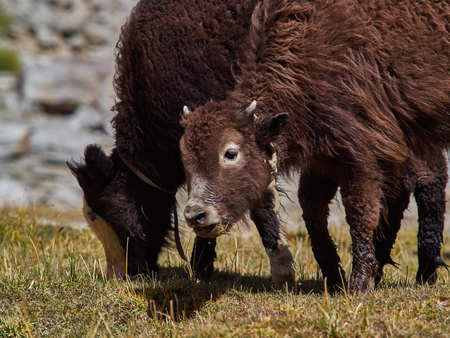 Brown young mountain Tibetan yak on the pasture in the Himalayas. Stock Photo