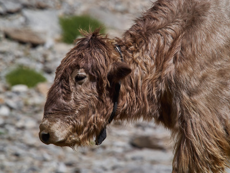 Young Tibetan yak with curly wool brown color, close up portrait.