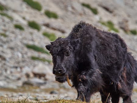 Huge black furry Tibetan yak climbs up the mountain, the Himalayas, Northern India.