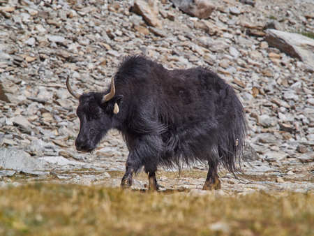 Old Tibetan yak with long black wool and big horns goes along a mountain pasture. Stock Photo