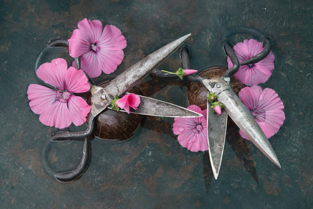 Two pairs of rough metal black scissors with open blades amidst huge pink flowers perpendicular to each other against a black background, photo still life for an interior wall.
