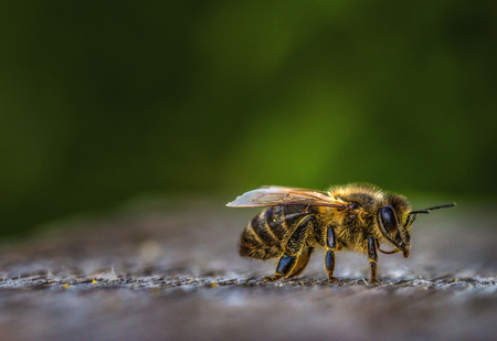Bee collecting honey, paws and body in bright yellow pollen on a green abstract background.