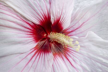 Hibiscus Luna White Brilliant White Petals and a Red Eye and long yellow pollen stem stigma