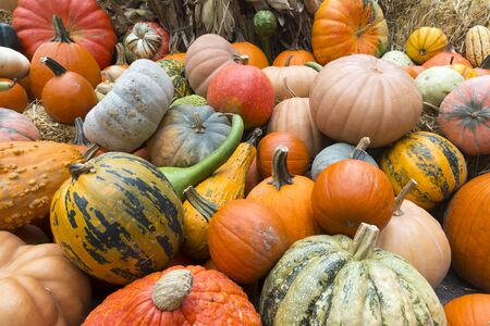 Variety harvest bunch of orange pumpkins halloween holiday fall