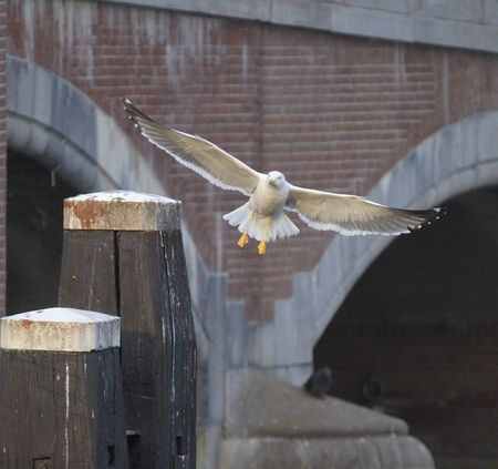 amstel: Lesser Black-backed gull landing on a post close to a bridge on Amstel River, Amsterdam, Netherlands