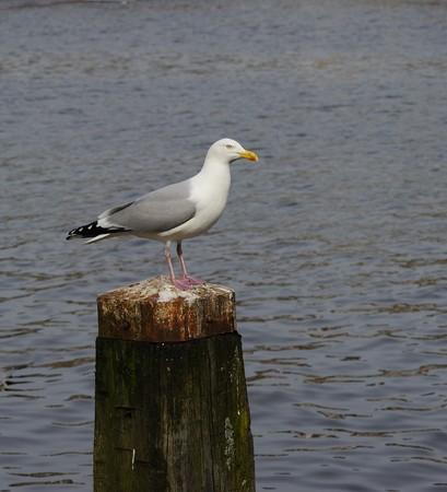 amstel river: Adult herring gull resting on post along Amstel river